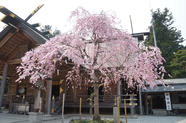 開成山大神宮桜祭り | 郡山市の4月開催イベント2018